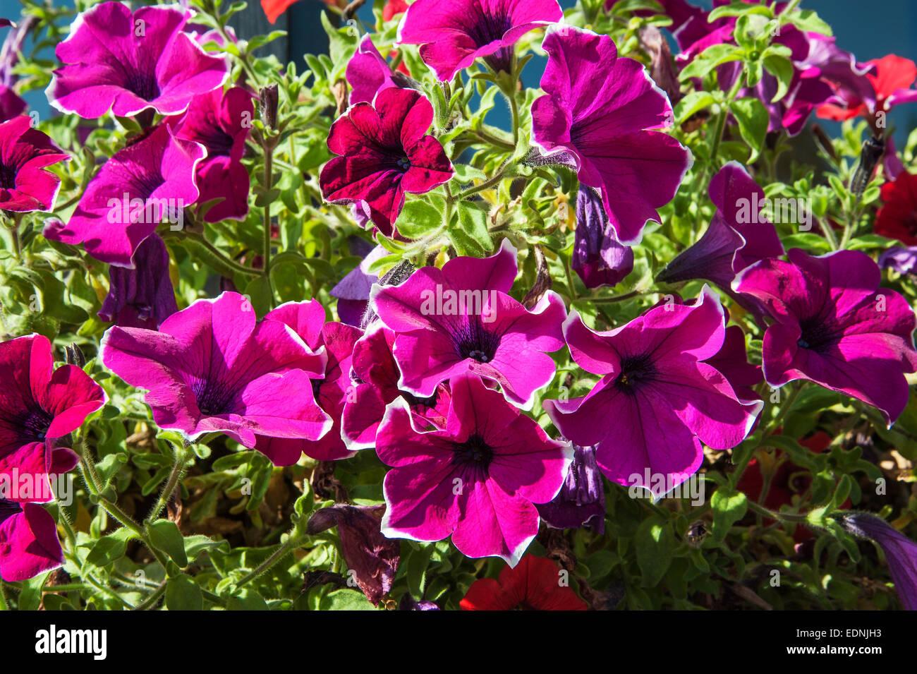 Petunia (Petunia x hybrid), Germany - Stock Image