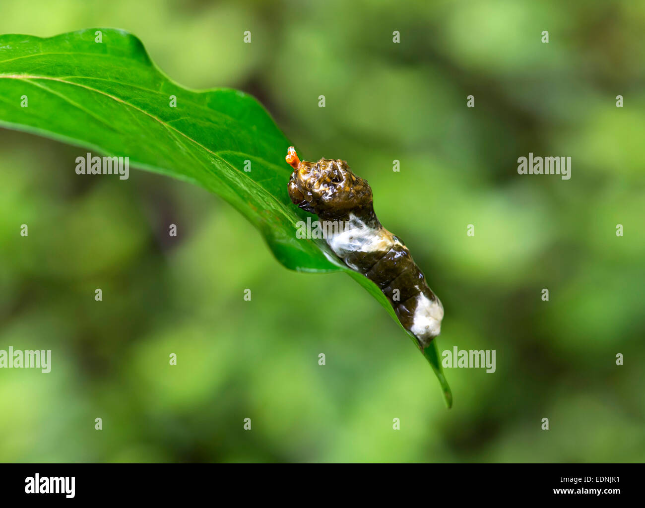 Caterpillar of a tropical Giant Swallowtail butterfly (Papilio cresphontes) that mimics bird droppings as camouflage - Stock Image
