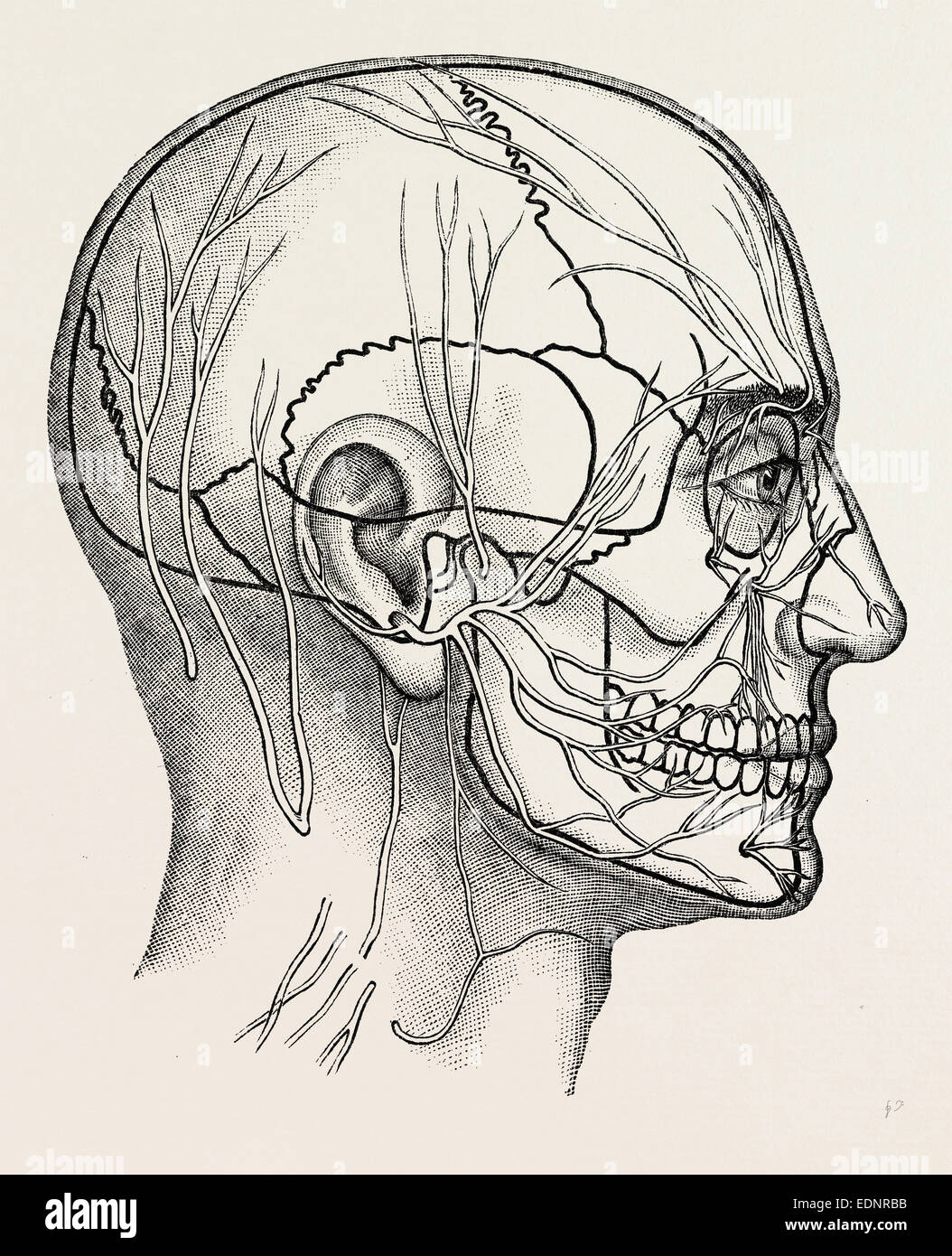 The Nerves Of The Face And Of The Side Of The Head Medical Stock