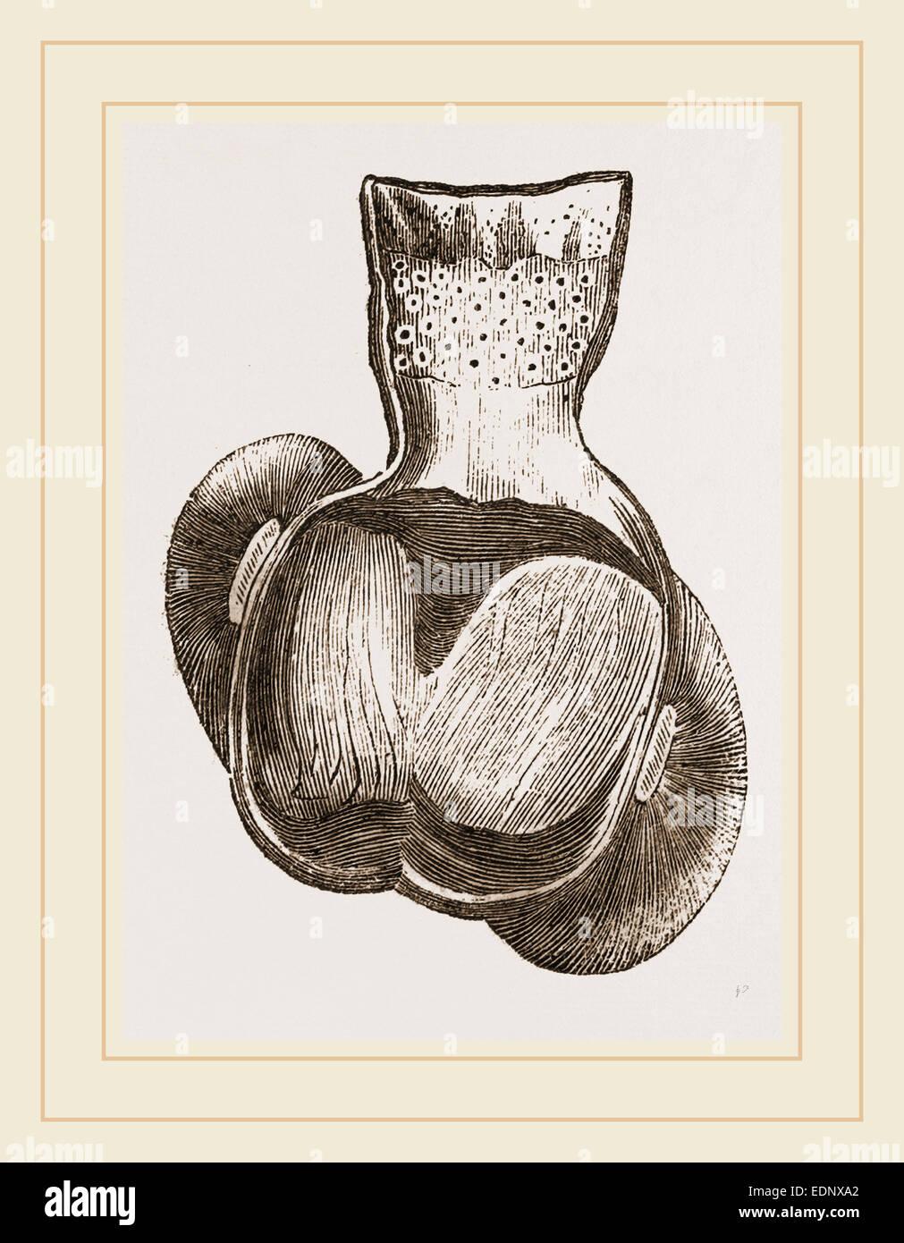 Gizzard of Turkey Stock Photo: 77313658 - Alamy