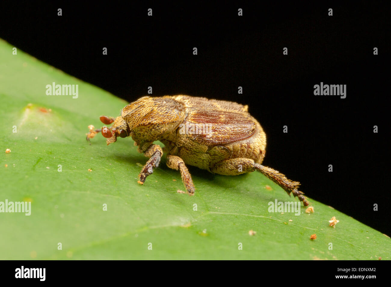 The rose beetle, Adoretus compressus. - Stock Image