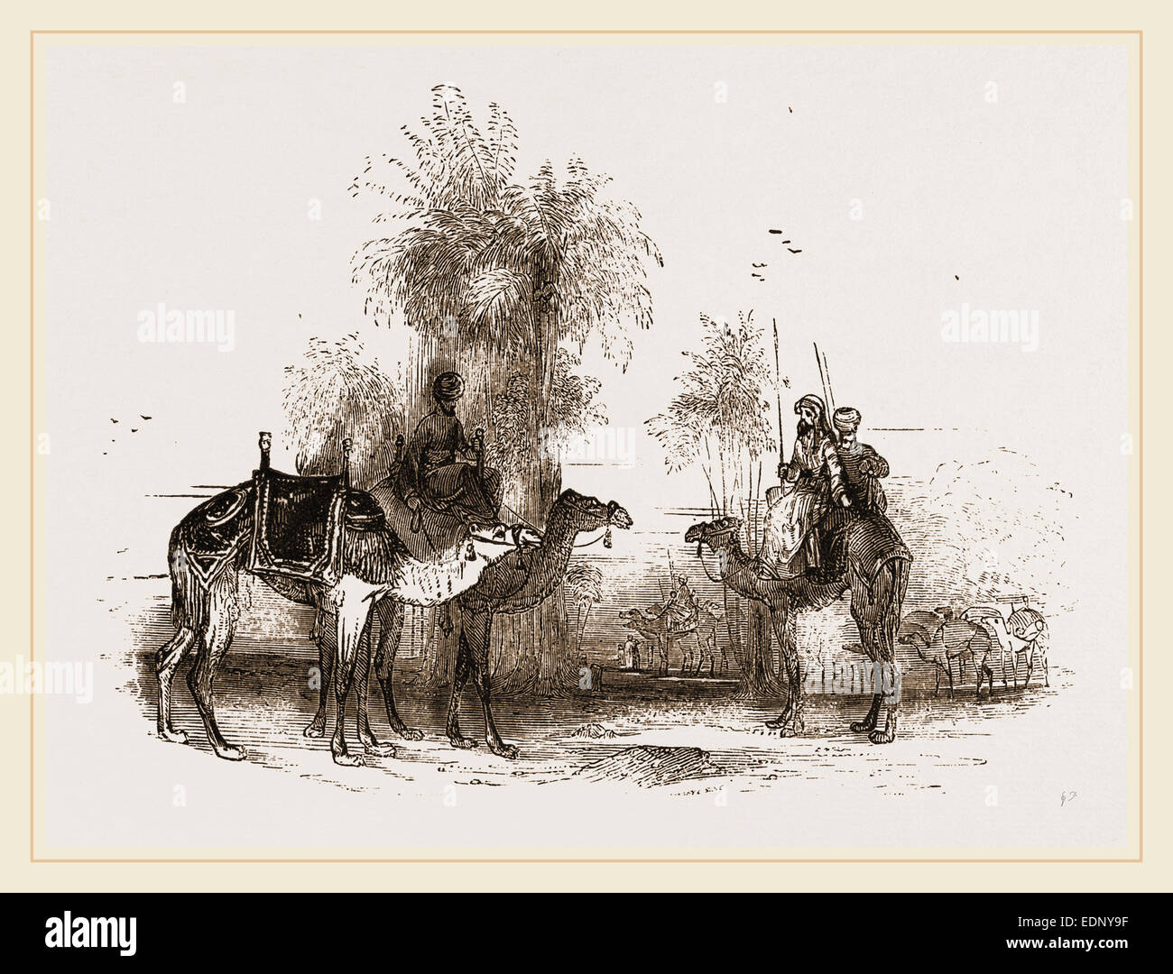 Mounted Camels - Stock Image