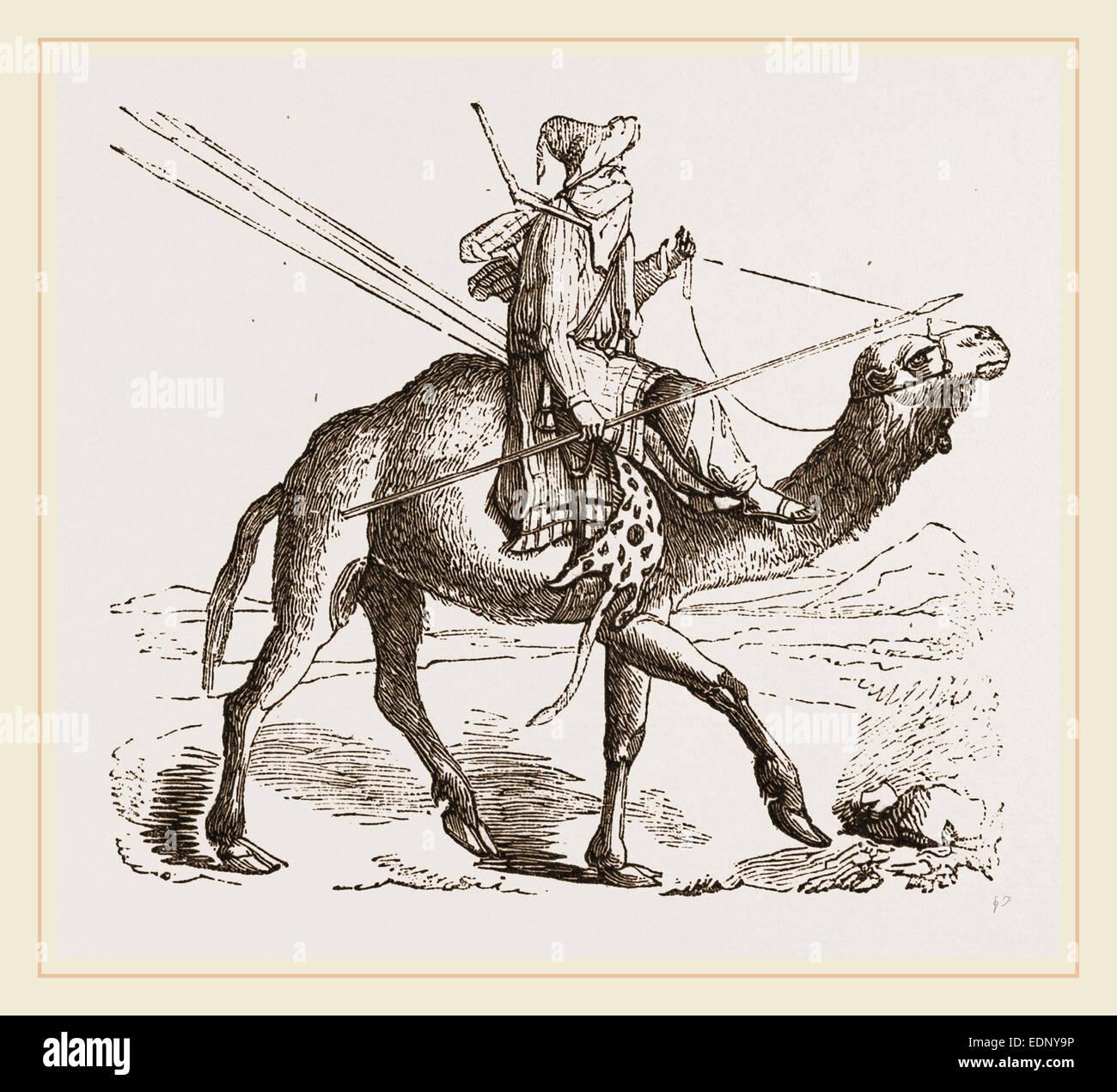 Swift Camel mounted - Stock Image