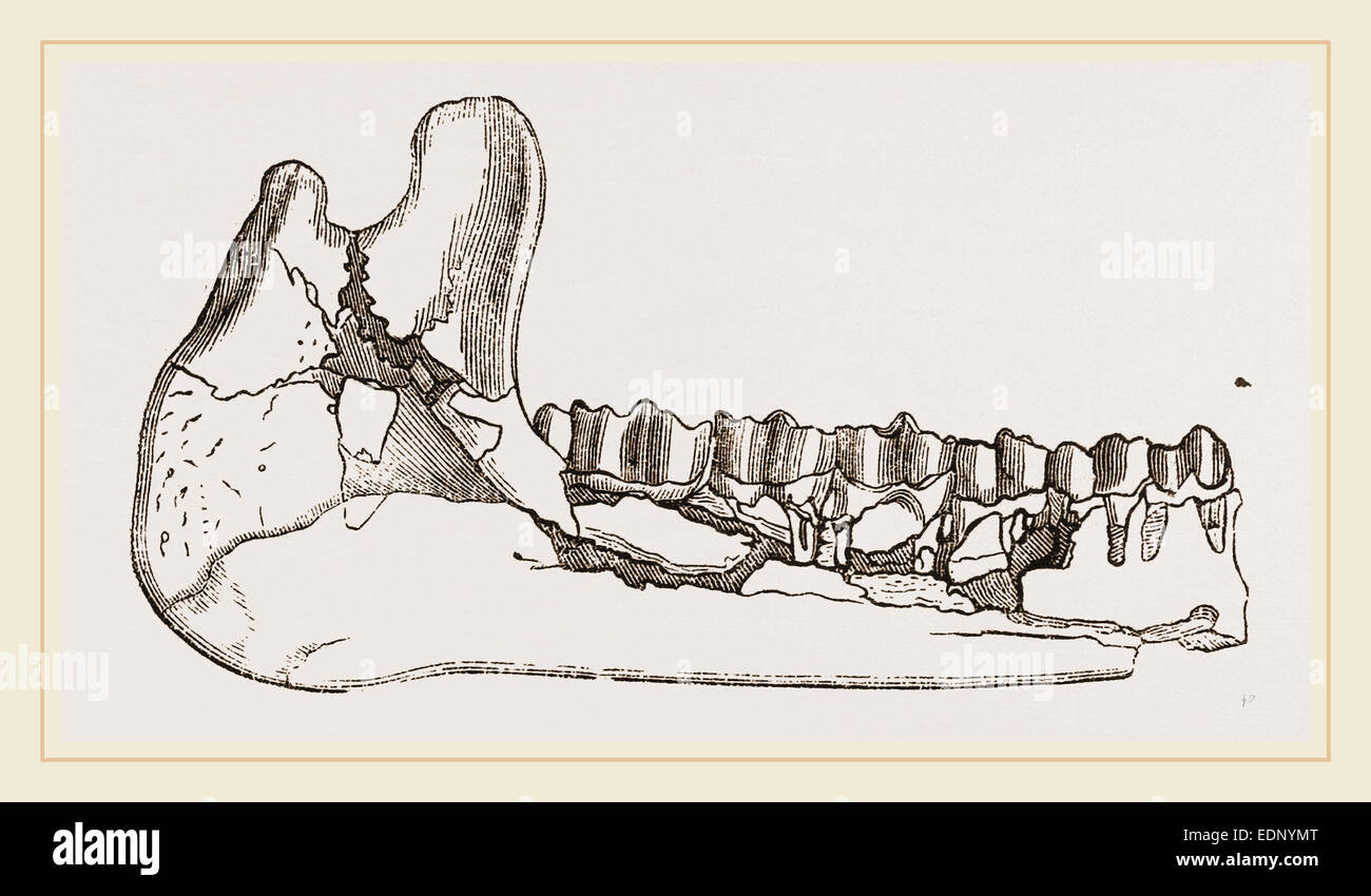 External view of part the lower jaw of Palaeotherium magnum - Stock Image