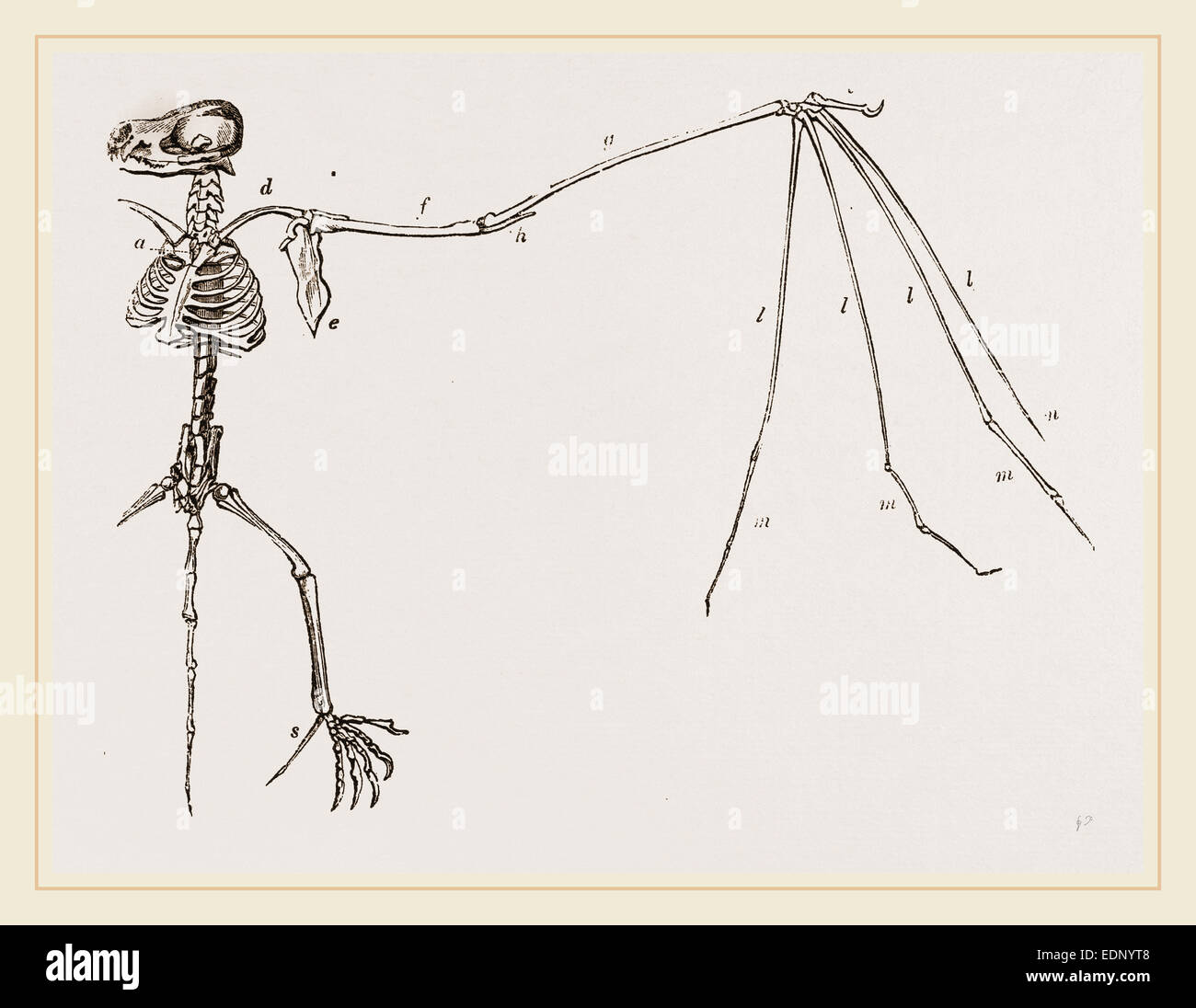 Bat Skeleton Stock Photos & Bat Skeleton Stock Images - Alamy