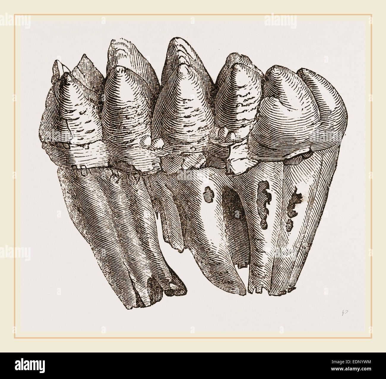 Molar of Mastodon not worn - Stock Image