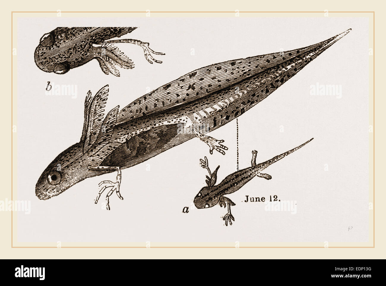 Tadpole at 22 and 37 days - Stock Image