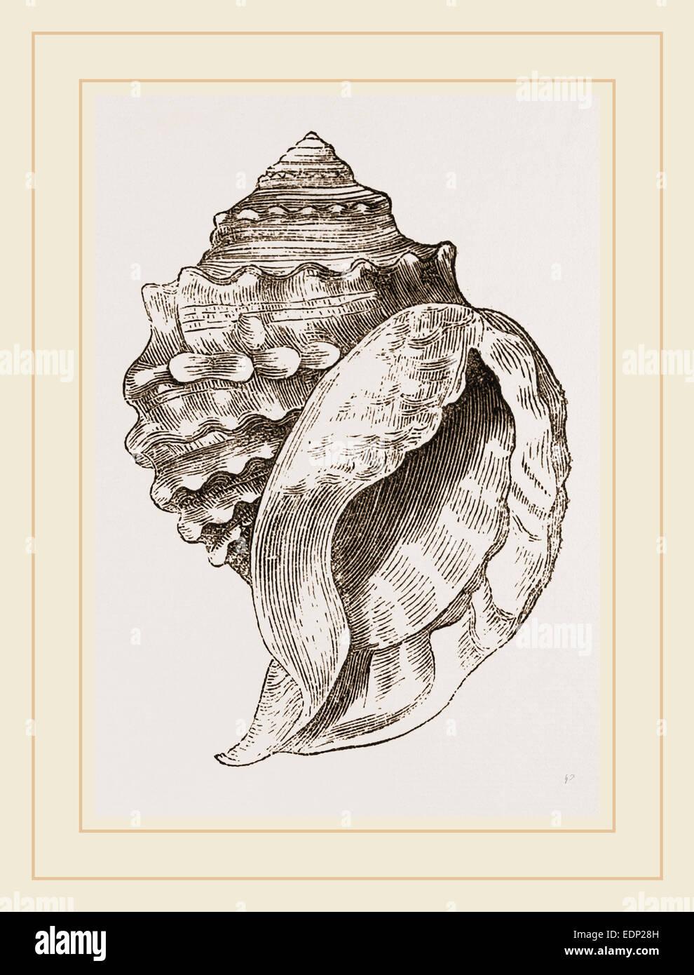 Spinous Cassidaria - Stock Image