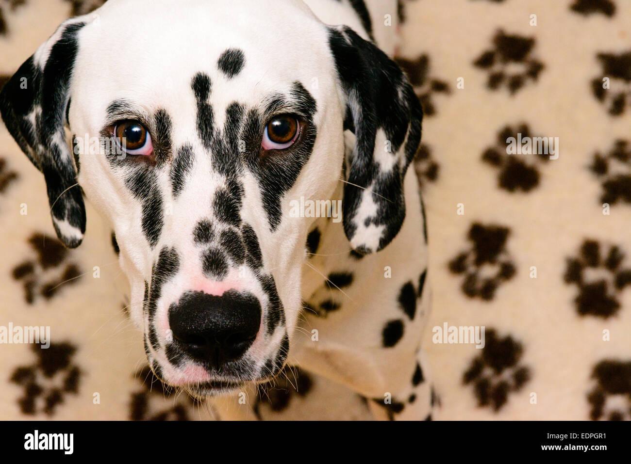 A dalmatian dog - Stock Image