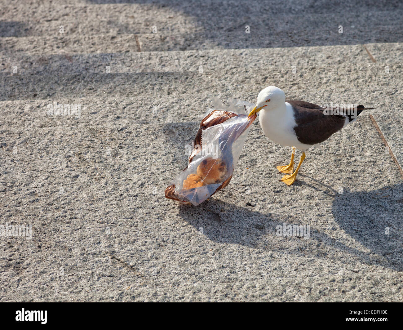 The bird - Seagull searching food in plastic bag. - Stock Image