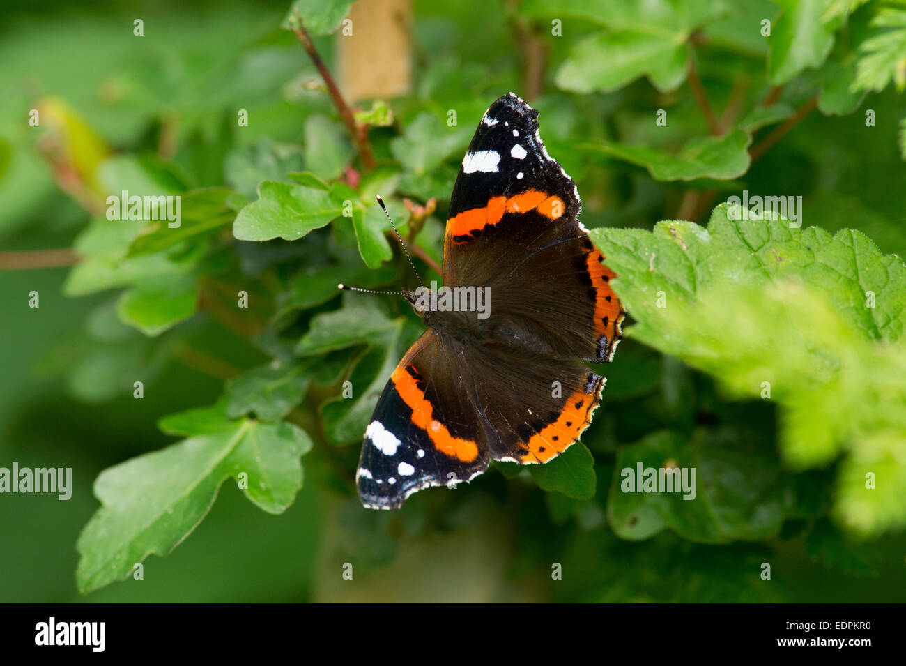 A Red Admiral (Vanessa atalanta) Butterfly on the edge of woodland in East Yorkshire, England - Stock Image