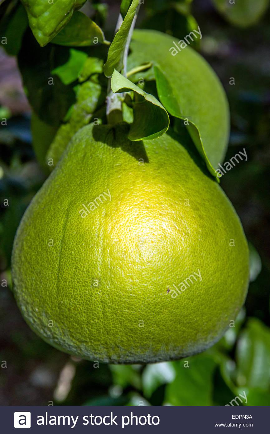 Tahitian green grapefruit - Citrus maxima var. sarawak - Stock Image