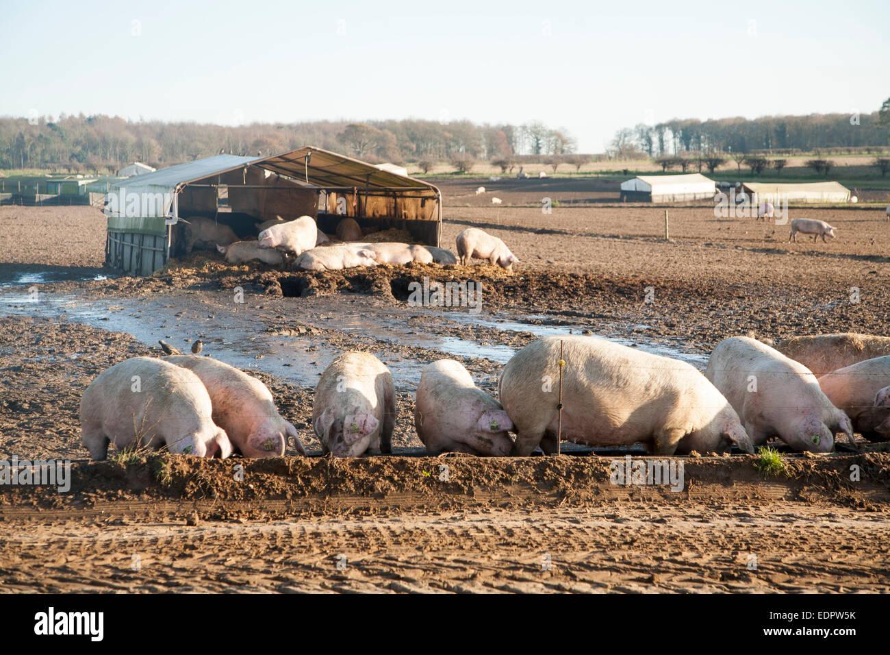 Free Range Pig Farming Tunstall Suffolk England Uk