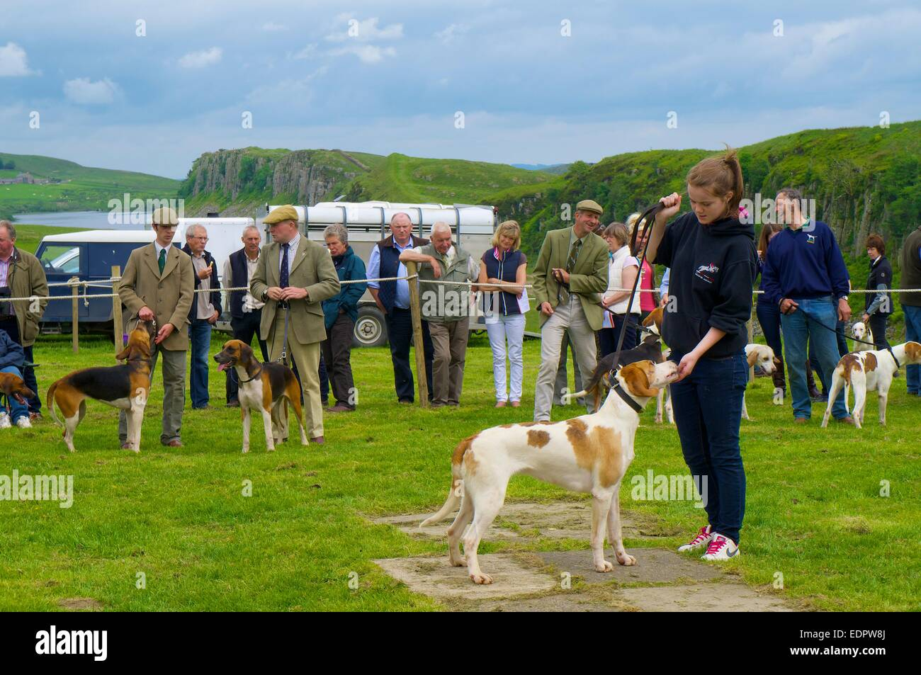 Girl showing Foxhound. The Roman Wall Show, Steel Rigg Hadrian's Wall Northumberland England UK - Stock Image