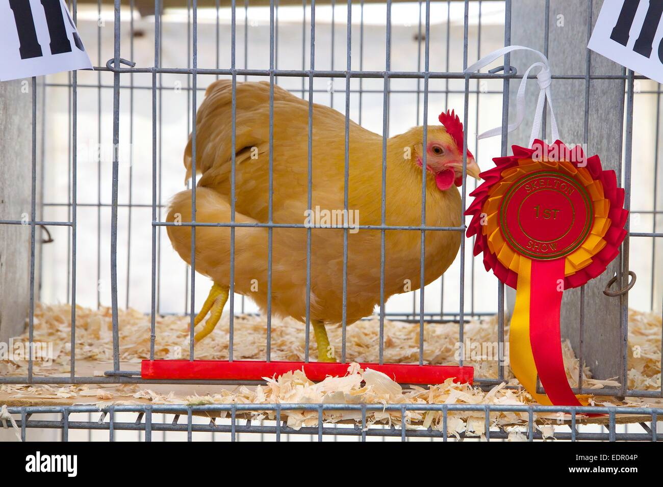 Show Chicken in cage at Skelton Show. Cumbria England UK - Stock Image
