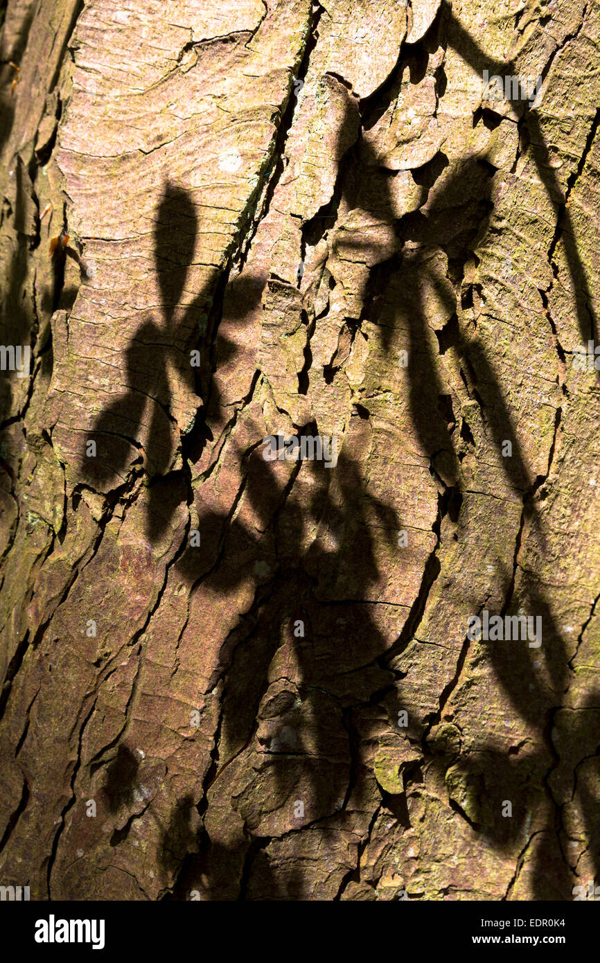 Leaves of Horse-Chestnut deciduous tree, Aesculus hippocastanum, as shadow on the bark of its trunk in Oxfordshire, - Stock Image