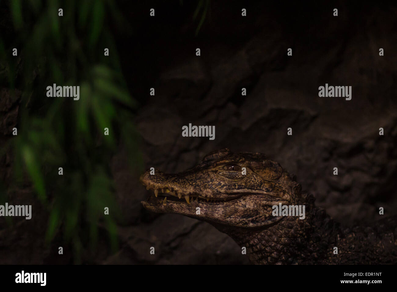 Close-up of the head of the South American Cuvier's dwarf caiman (Paleosuchus palpebrosus) - Stock Image