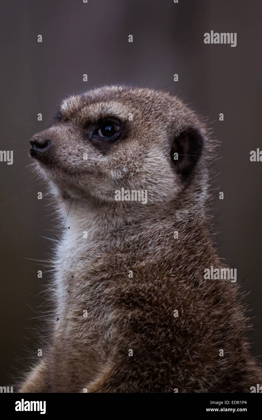Closeup of a meerkat in a zoo - Stock Image