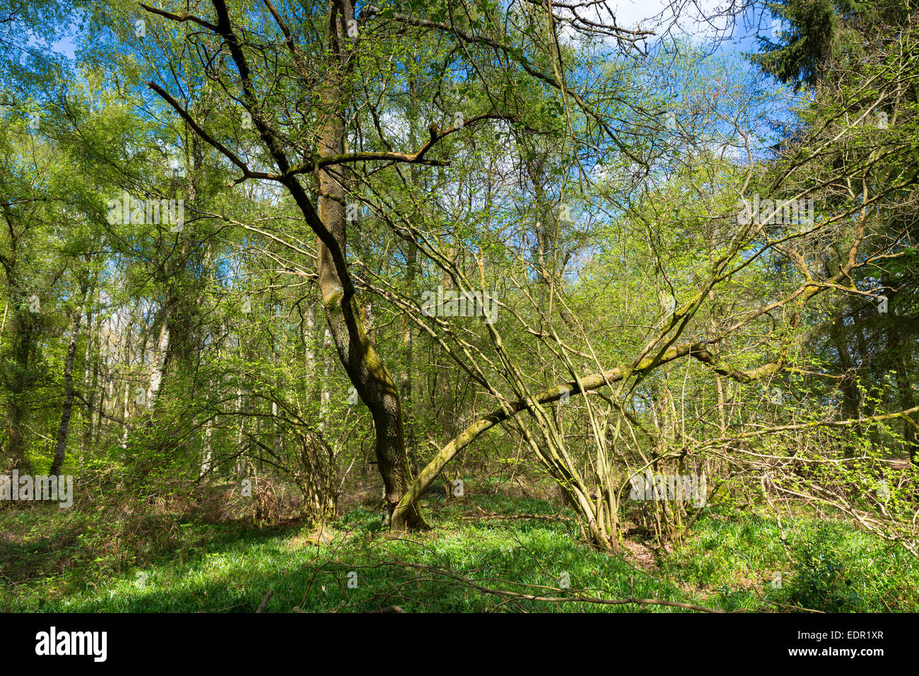 Woodland scene of beech trees and silver birch at Bruern Wood in The Cotswolds, Oxfordshire, UK Stock Photo