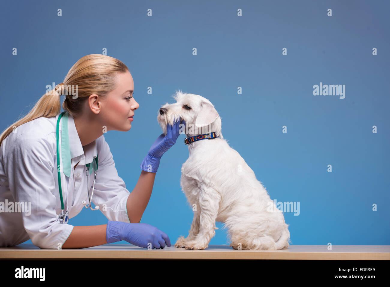 Cute little dog visits vet - Stock Image
