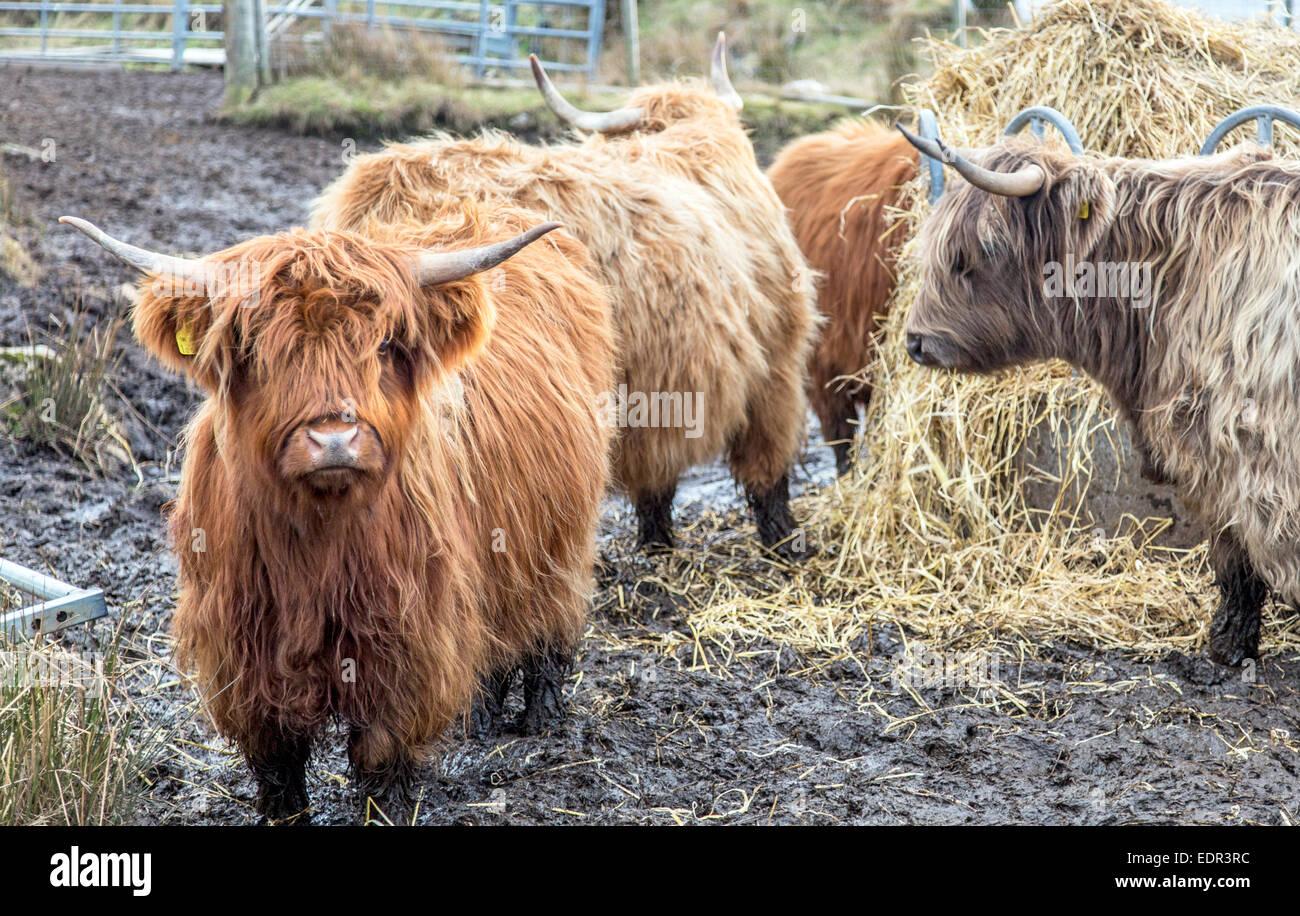 Highland Cattle Sutherland Scotland UK - Stock Image
