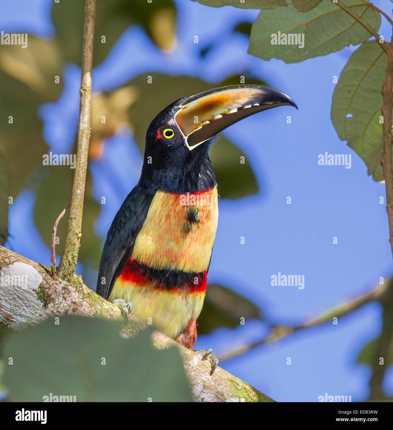 Crouched collared aracari (Pteroglossus torquatus) portrait, Tortuguero, Costa Rica. Stock Photo