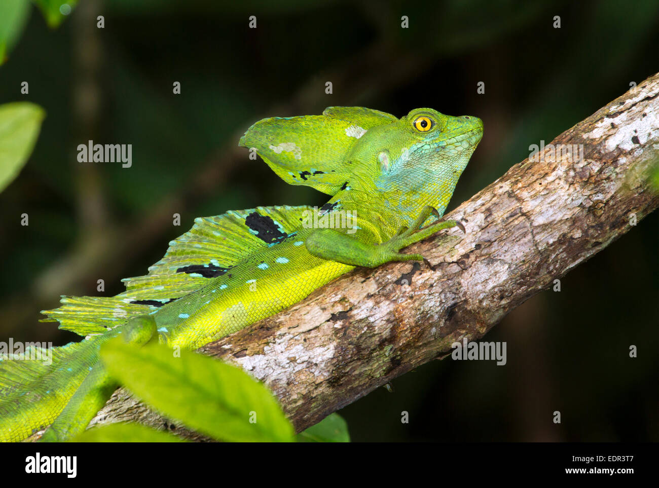 Plumed or green basilisk (Basiliscus plumifrons) in a tree, Tortuguero, Costa Rica. - Stock Image