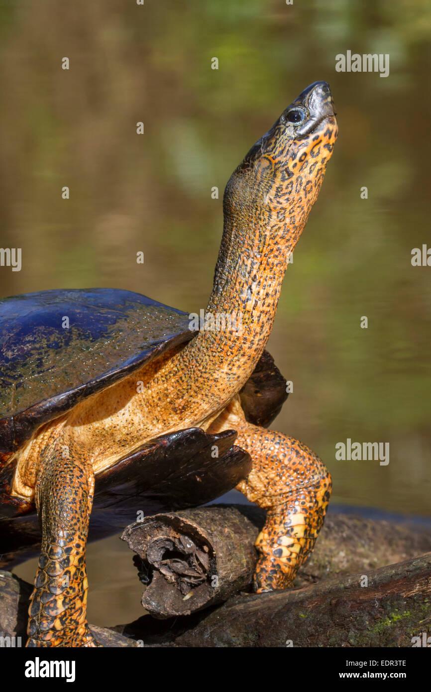 Black river turtle (Rhinoclemmys funerea) taking sunbath, Tortuguero, Costa Rica. - Stock Image