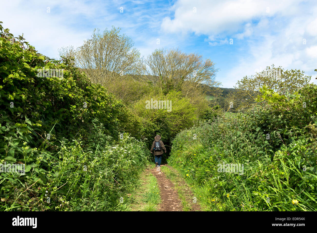 Lone walker strolls on Drover's Trail footpath in Exmoor National Park near Allerford, Somerset, UK - Stock Image