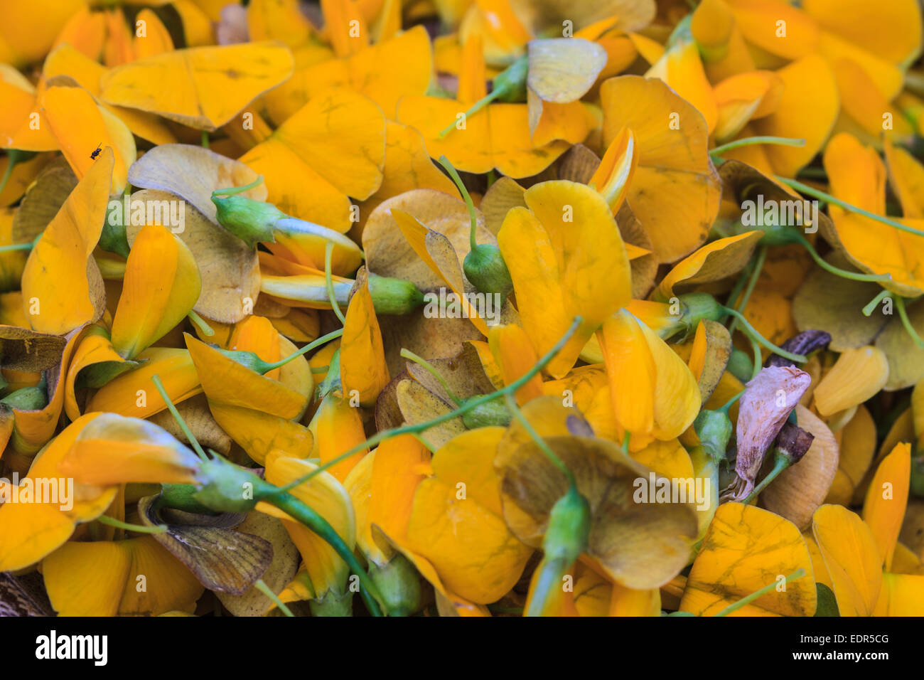 Sesbania flower vegetable used for food in thailand stock photo sesbania flower vegetable used for food in thailand mightylinksfo