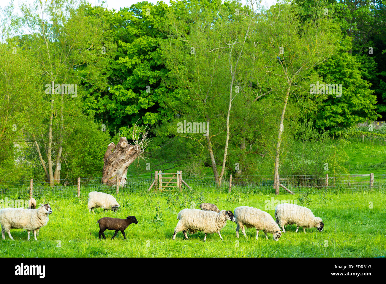 One black sheep among flock of white sheep in meadow in Eastleach Martin in The Cotswolds, UK - Stock Image