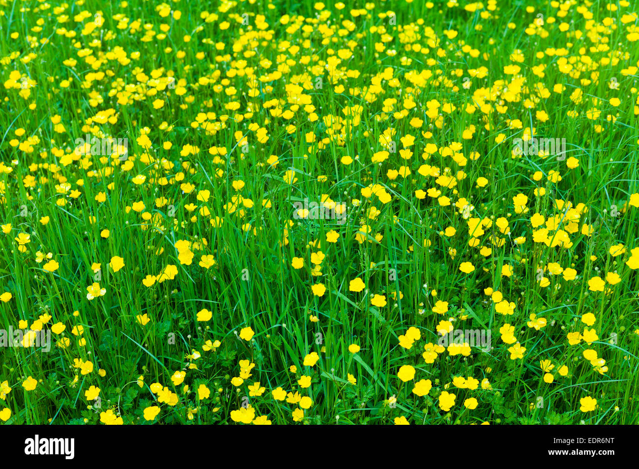 Meadow buttercups, Ranunculus acris, in summertime, UK - Stock Image