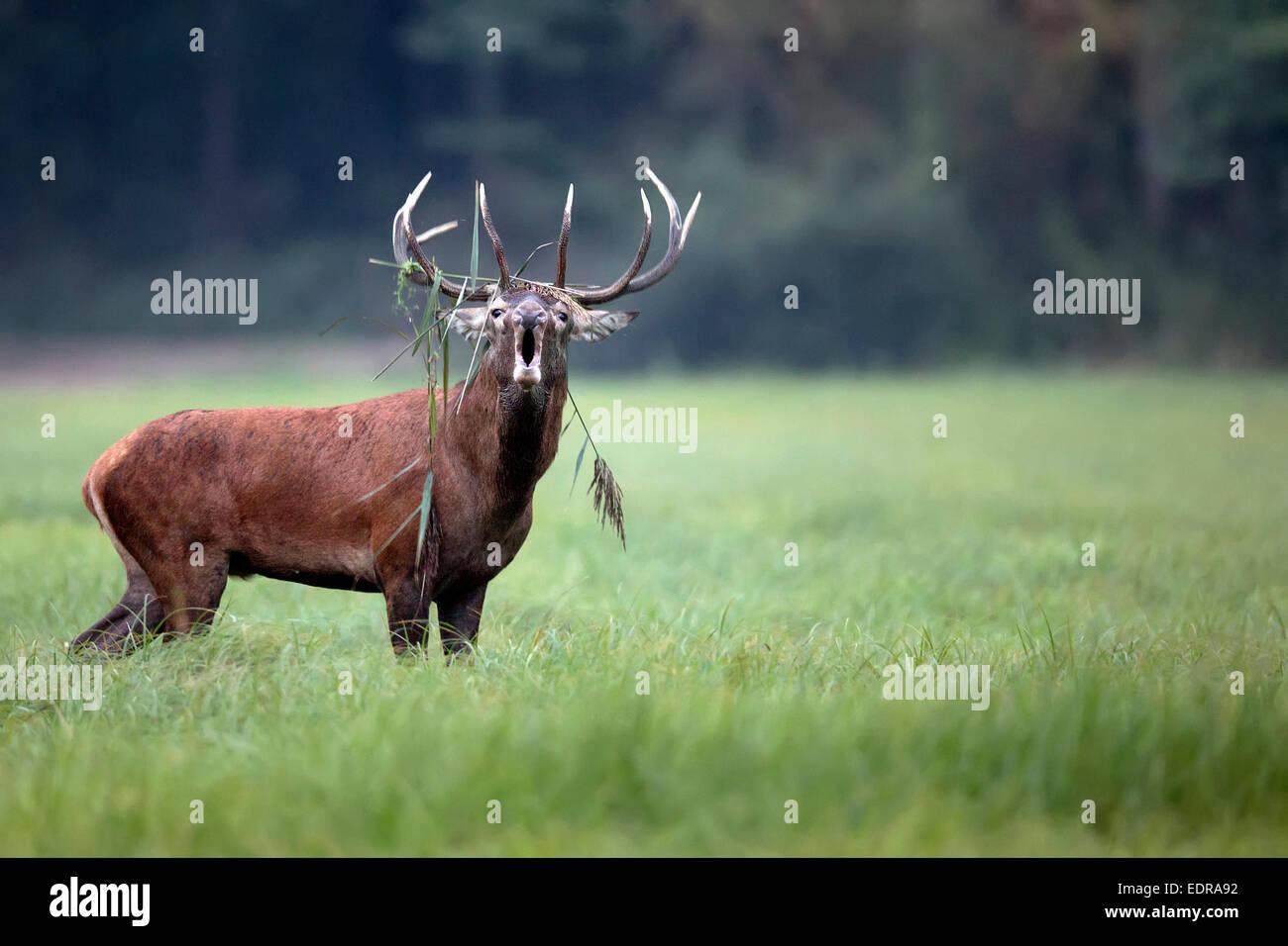 Red deer bellowing in the wild - Stock Image