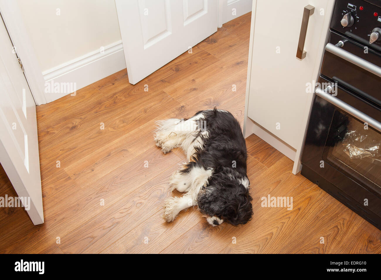 Dog asleep on the kitchen floor - Stock Image