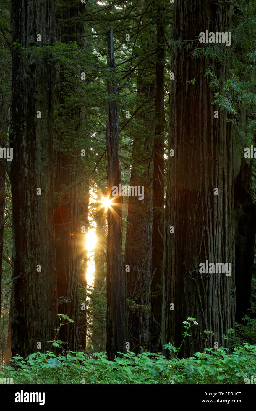 Sunshine through redwood forest, Del Norte Coast Redwoods State Park, Del Norte County, California - Stock Image