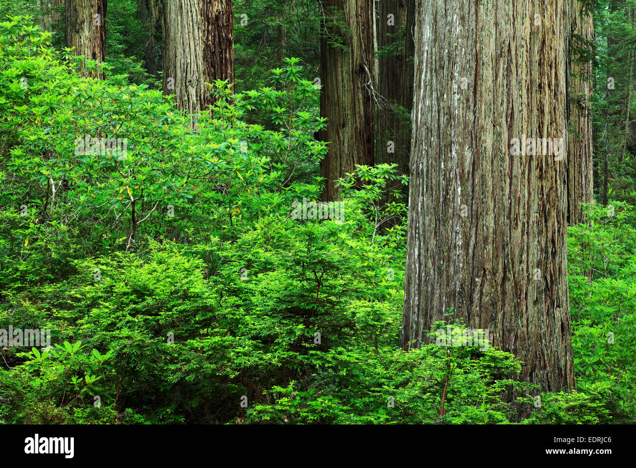 Redwood forest, Del Norte Coast Redwoods State Park, Del Norte County, California - Stock Image