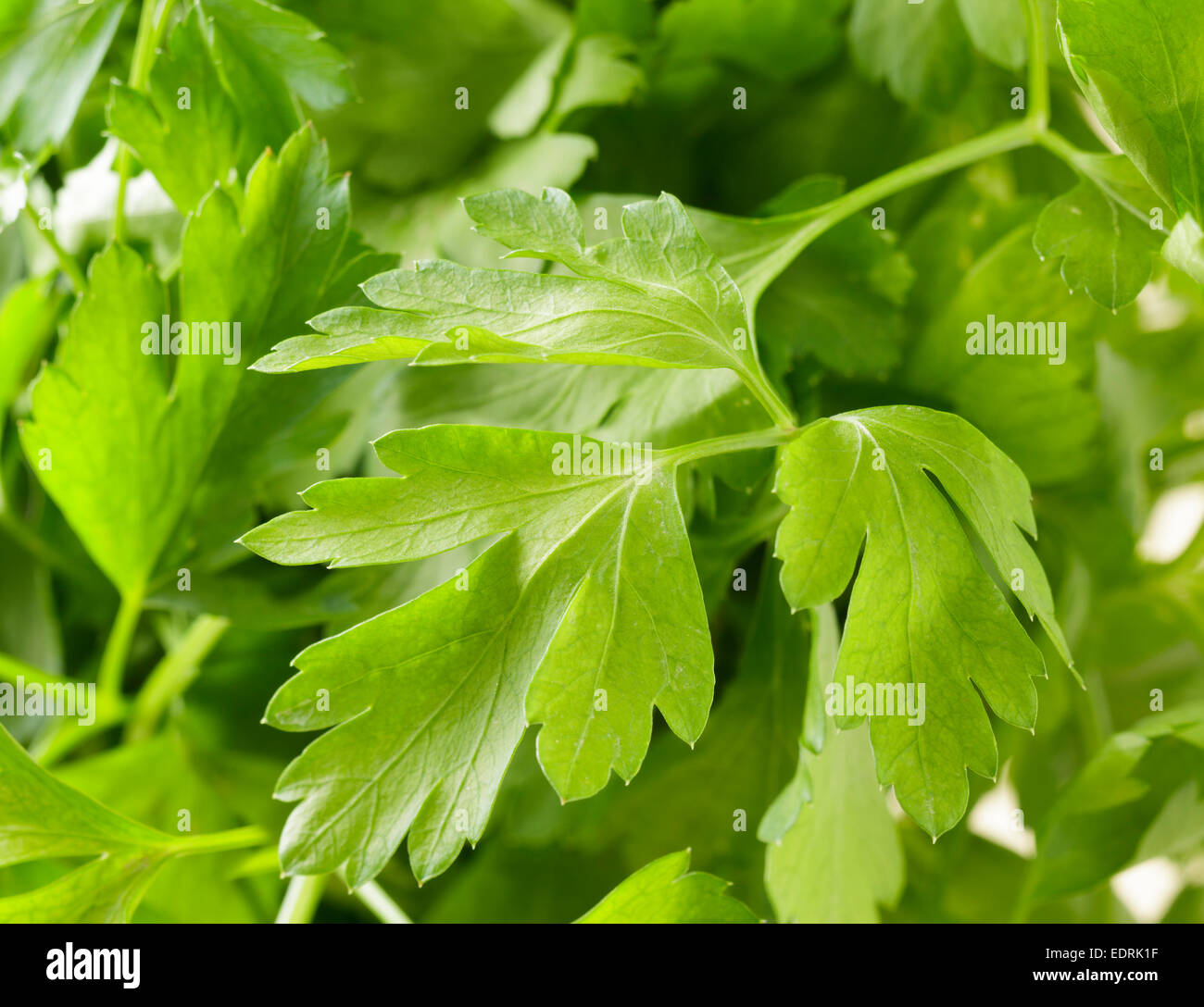 Flat leaved parsley - Stock Image