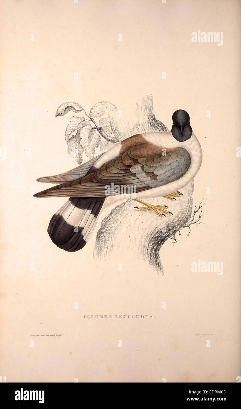 Columba Leuconota, Snow Pigeon. A species of bird in the Columba genus in the Columbidae family.. - Stock Image