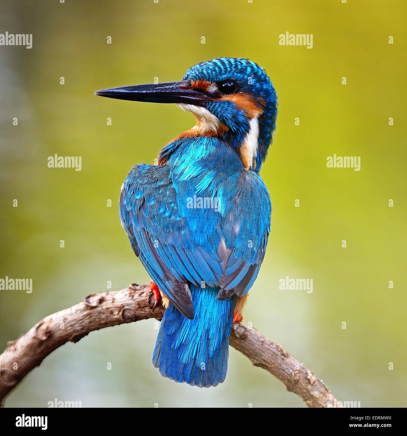 Beautiful blue Kingfisher bird, male Common Kingfisher (Alcedo atthis), sitting on a branch, back profile - Stock Image