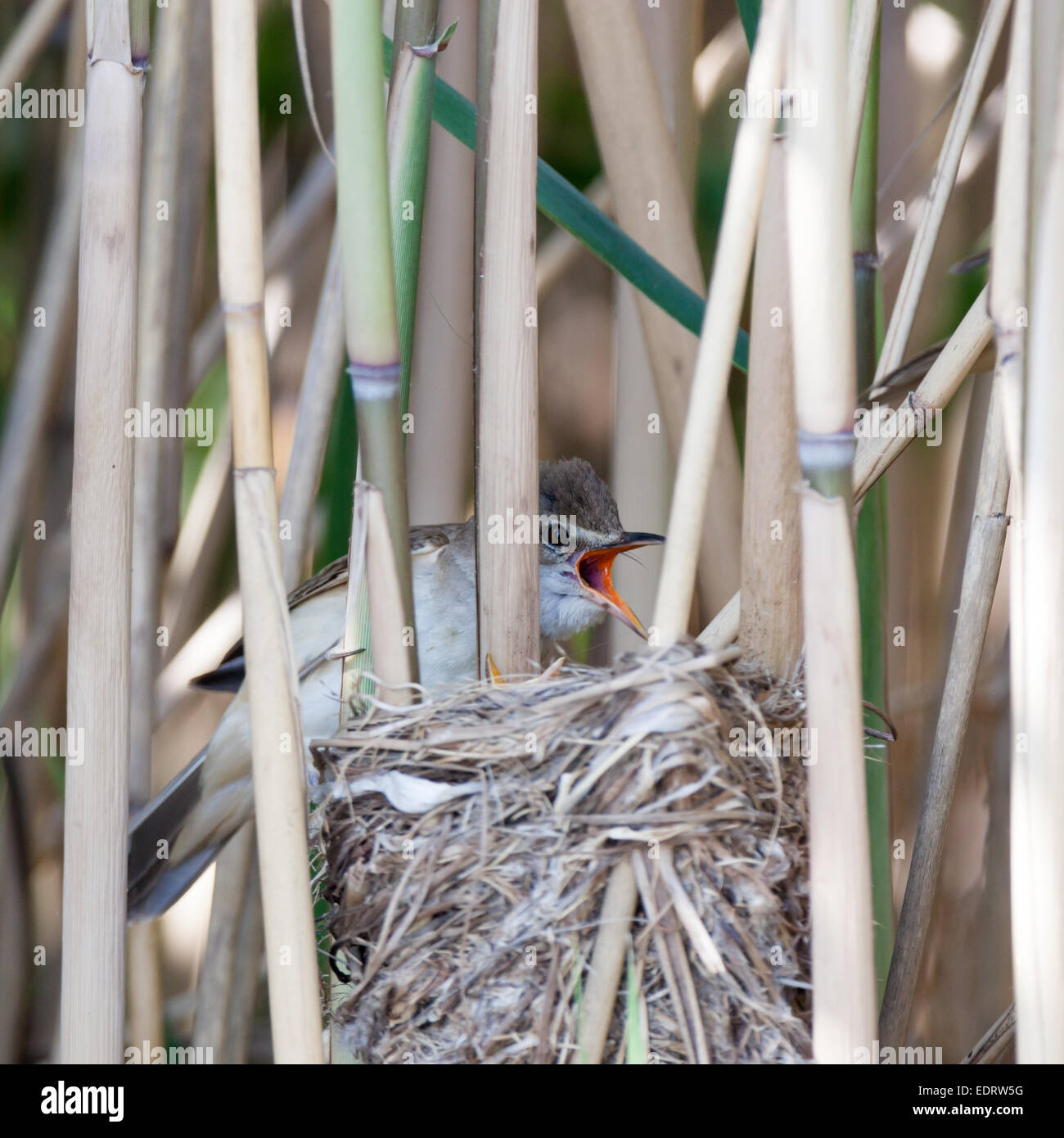 Nest of the Great Reed Warbler (Acrocephalus arundinaceus) in the nature. Stock Photo