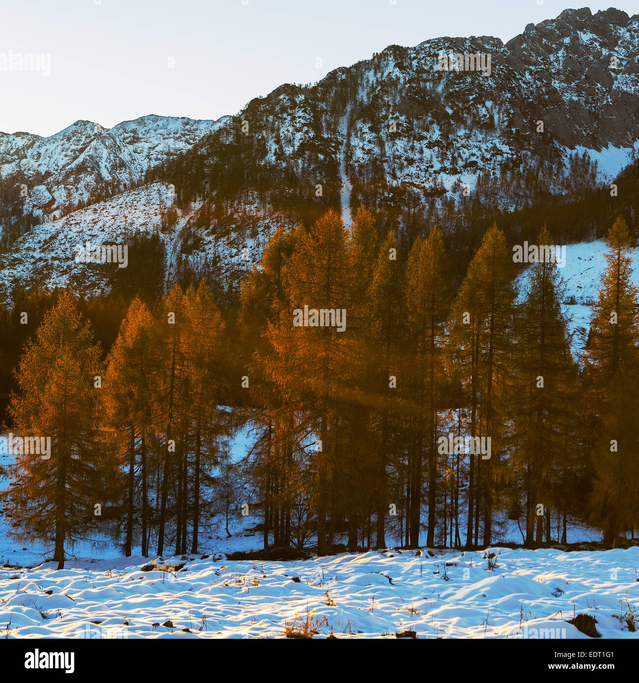 Yellow larches illuminated by the morning sun against snow-covered mountains Stock Photo