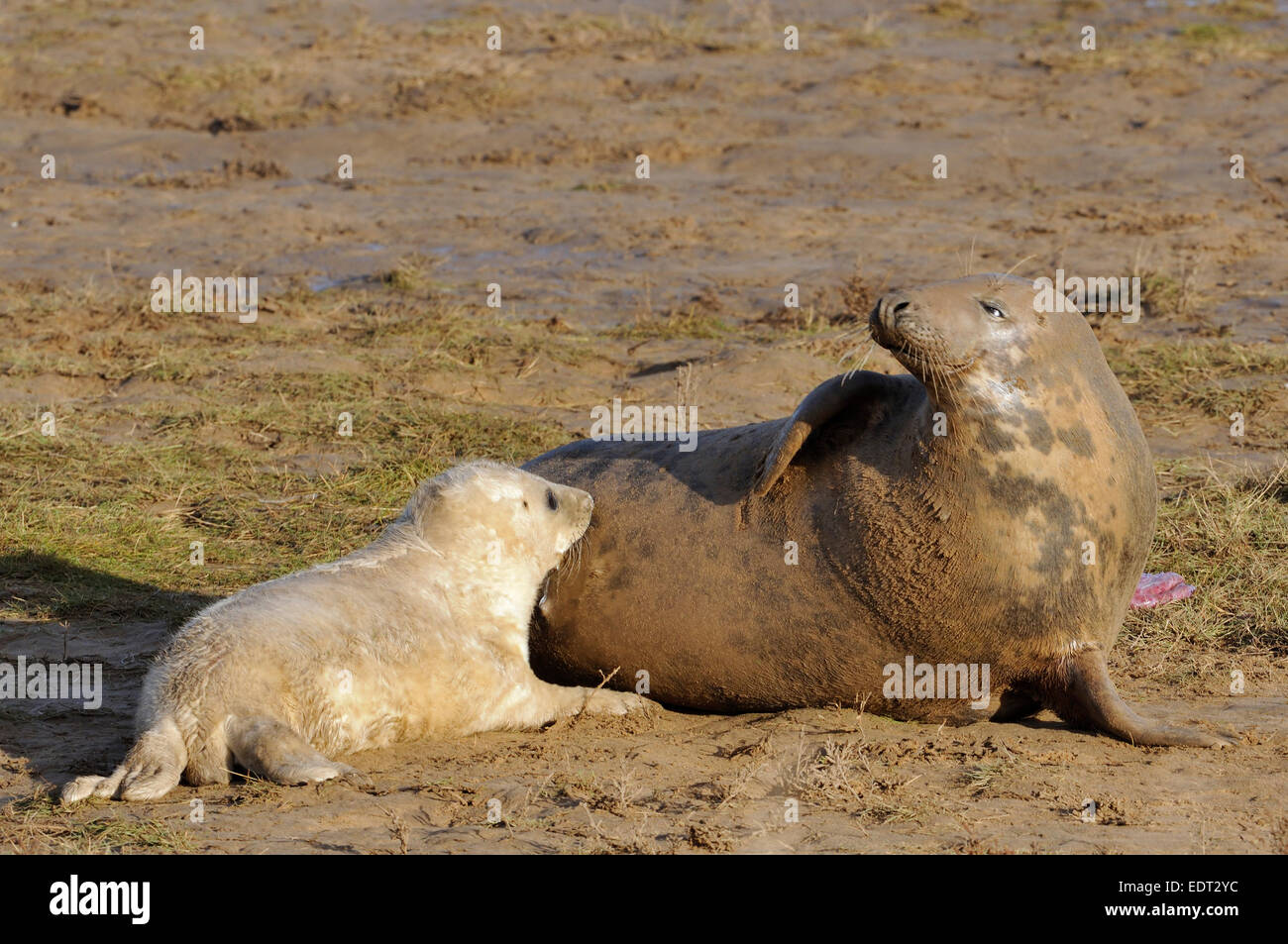 Atlantic Grey Seal - Halichoerus grypus Female with pup Stock Photo