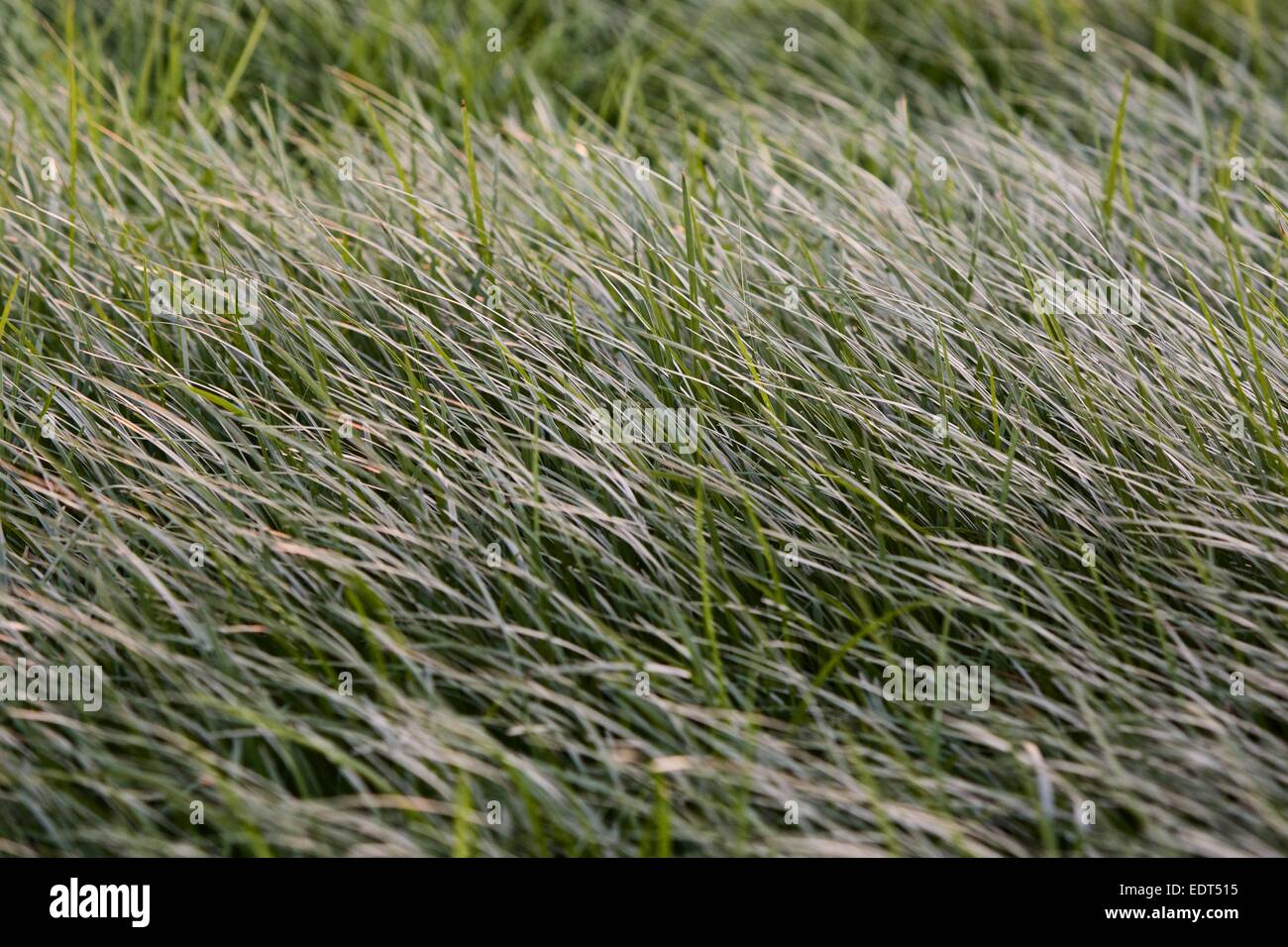 abstract photo of grass being blown by the wind - Stock Image