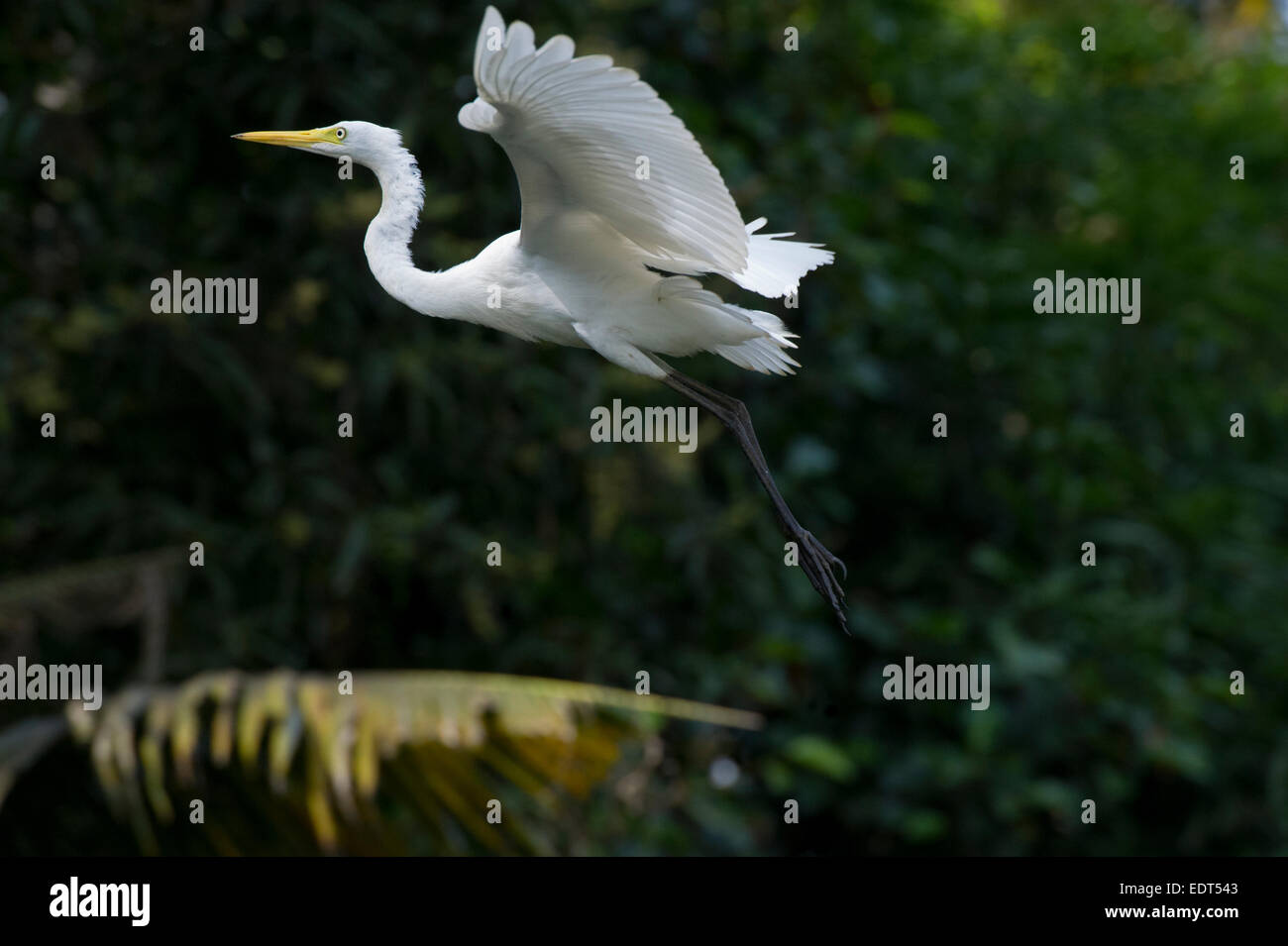 Great white egret (Ardea alba) flying over backwaters. Alleppey, Kerala, India - Stock Image