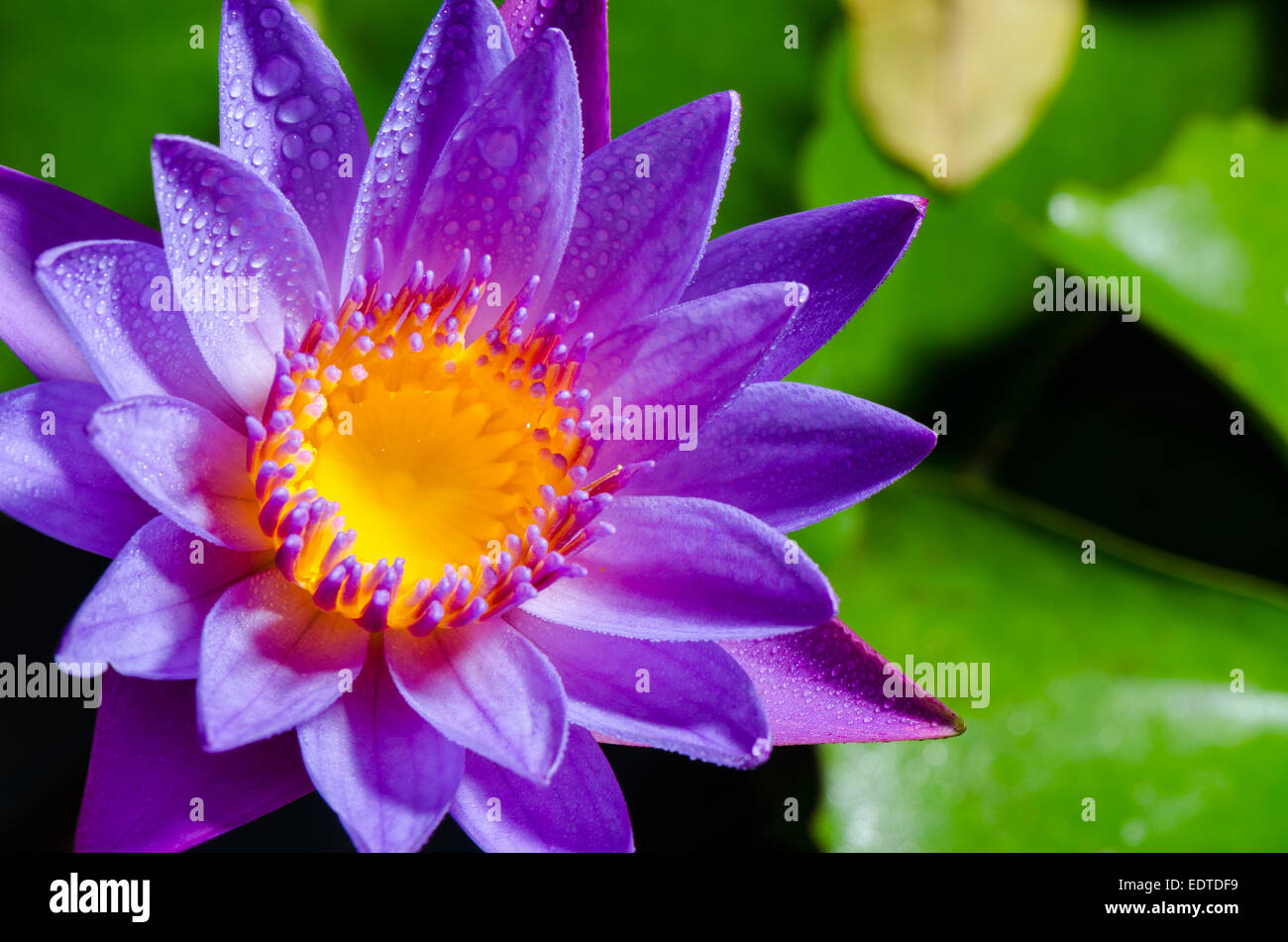 Colorful yellow carpel and water drops on purple lotus flower stock colorful yellow carpel and water drops on purple lotus flower izmirmasajfo