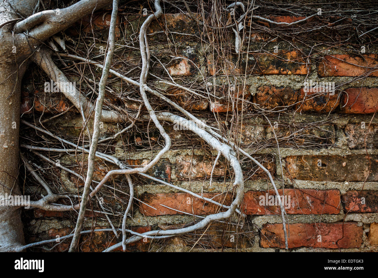 Old wall and root of tree (vignette style) - Stock Image