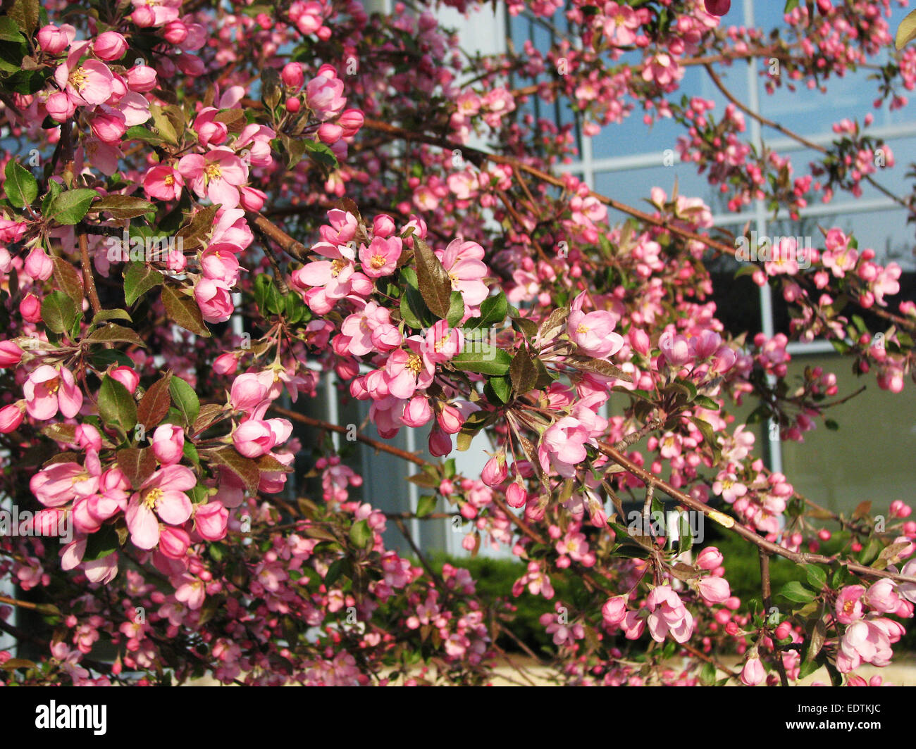 Spring blossom: branch of a blossoming apple tree on garden background Stock Photo
