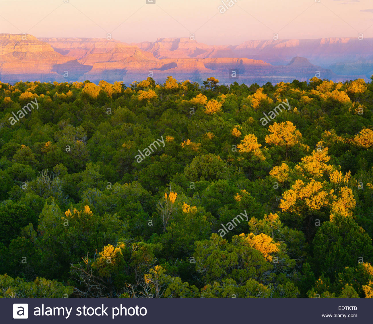 Pinyon-Juniper forest on South Rim, with North Rim in distance. Grand Canyon National Park, Arizona - Stock Image