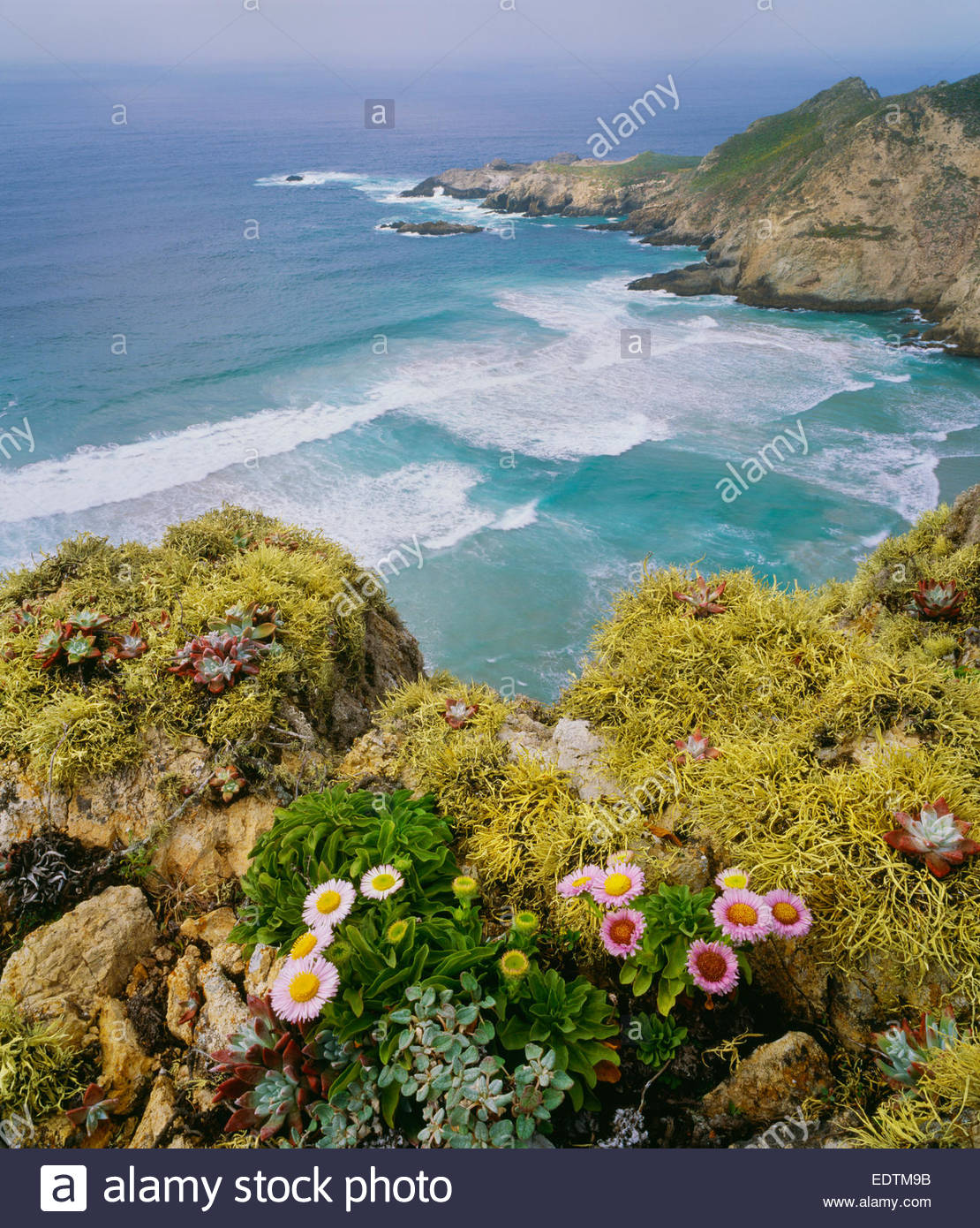 Harris Point with seaside daisies and lichens.  San Miguel Island.  Channel Islands National Park, California. - Stock Image