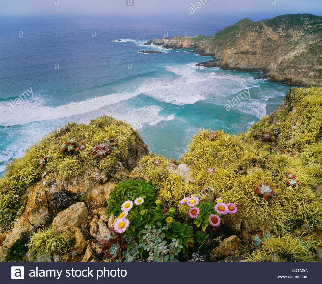 Harris Point with seaside daisies and lichens.  San Miguel Island.  Channel Islands National Park, California - Stock Image